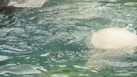 Polar bear swims and dives Footage