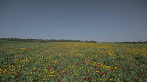 A field of red and yellow flowers during spring Footage