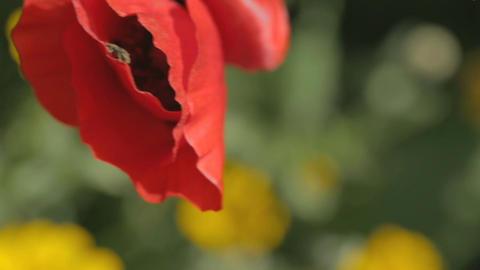 Macro shot of a red poppy flower ภาพไม่มีลิขสิทธิ์