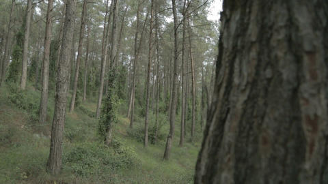 Tracking shot in a green pine forest Footage