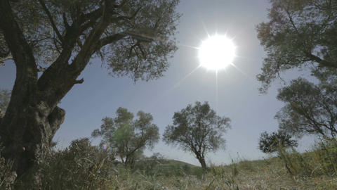 Tracking shot of olive trees under the sun Footage