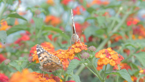 Macro shot of Butterfly on flowers Footage