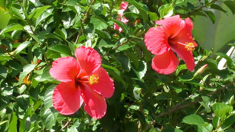 Hibiscus flowers swaying in the wind Footage
