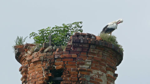 Stork family in the nest abandoned brick tower Footage