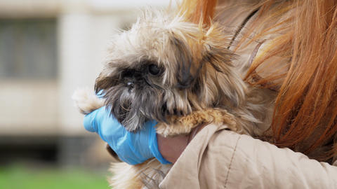 person hands in blue sterile gloves pets funny small dog Live Action