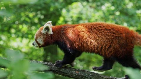 Red panda Ailurus fulgens on the tree. Cute panda bear in forest habitat Live Action