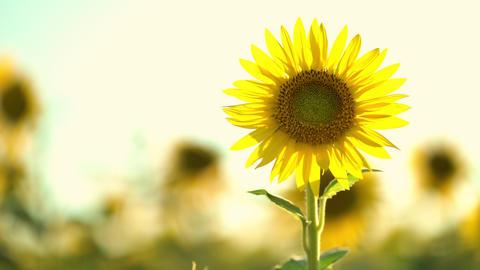 Beautiful yellow sunflowers in a summer field. orange sunflower field Live Action