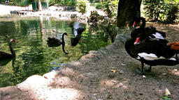 Close up of black Swans by Lake Footage