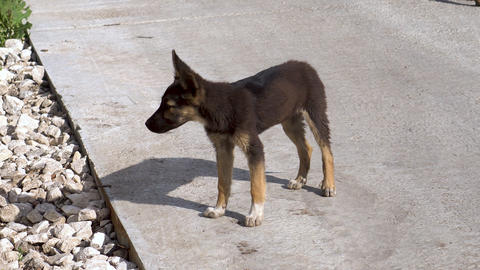 A stray puppy stands on the street and looks. Little hungry and lonely dog Live Action