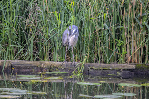 Close Up Of A Heron Hunting For Fish At Amsterdam The Netherlands 25-6-2020 フォト