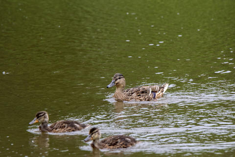 Close up Of A Mallard With Little Ones In The Water At Amsterdam The Netherlands 19 June 2020 フォト