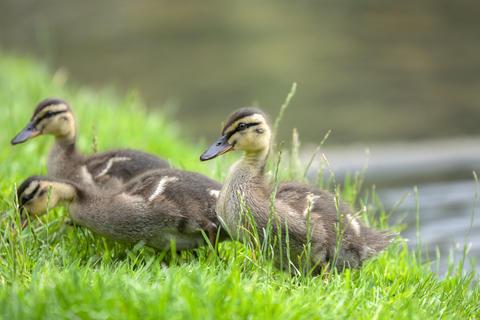 Close Up Of Young Mallard Ducks At Amsterdam The Netherlands 19 June 2020 フォト