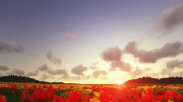 Field of Tulips, timelapse clouds at sunset Animation