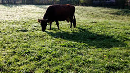 Happy cow eating grass, environmental conservation Footage