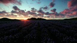 Lavender field against beautiful timelapse sunrise Animation