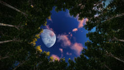 Looking up at a circle of redwood trees, full moon at sunrise, zoom in Animation