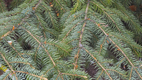 Green branches of spruce close-up. Needles on the branches of a Christmas tree Live Action
