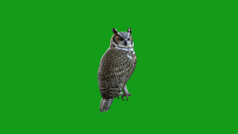 Owl motion graphics with green screen background Animation