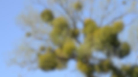 Blurred background. A sick tree. Mistletoe on the branches of a tree Live Action