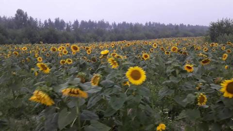 Sunflowers 0