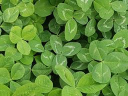 Green clover grass texture view from above Fotografía