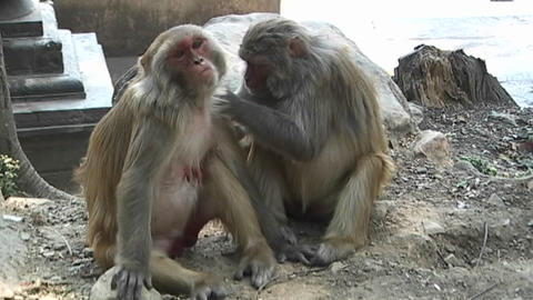 Monkeys grooming each other at the Monkey Temple in Kathmandu, Nepal Footage