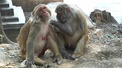 Monkeys grooming each other at the Monkey Temple in... Stock Video Footage