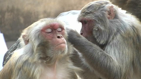 Close up of monkeys grooming each other at the Monkey Temple in Kathmandu, Nepal Footage