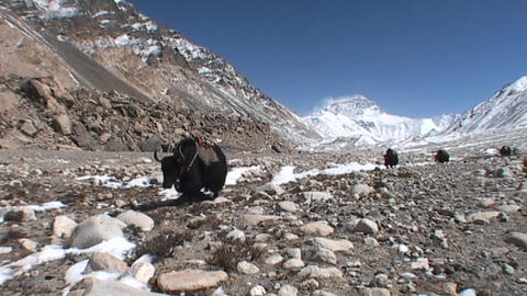 Yaks walking towards Everest base camp with Mt. Everest in the background Footage
