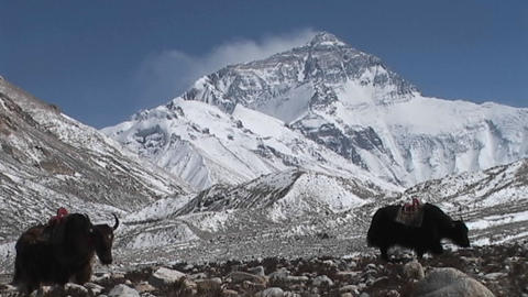 Yaks walking towards Everest base camp with Mt. Everest... Stock Video Footage