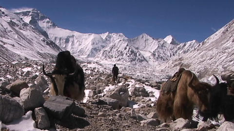 Yaks with expedition gear walking with Everest in the background Footage