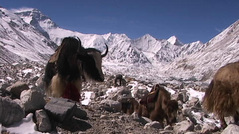 Yaks with expedition gear walking with Everest in the... Stock Video Footage