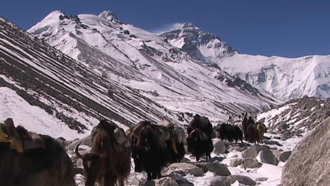 Yaks with walking with Everest in the background Stock Video Footage