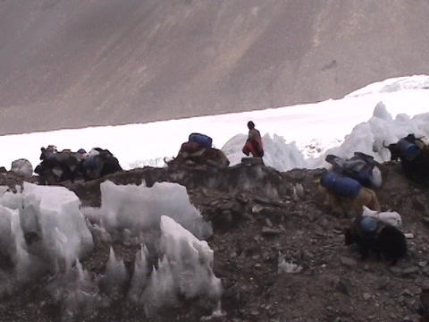 Yaks walking up a rocky and icy hill on Mt. Everest Footage