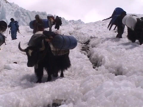 Yaks packed with expedition gear walking down an icy path on Mt. Everest Footage