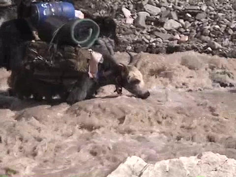 Yaks packed with expedition gear crossing a stream on Mt. Everest Footage
