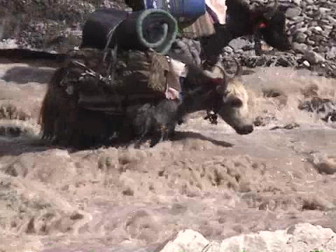 Yaks packed with expedition gear crossing a stream on Mt.... Stock Video Footage