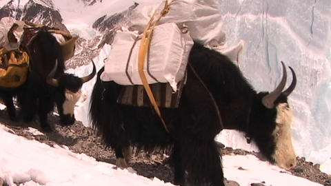 Yaks packed with expedition gear walk across ice pyramids on Mt. Everest Footage