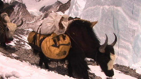 Yaks packed with expedition gear walk across ice pyramids... Stock Video Footage