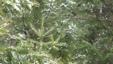 Snow begins to collect on the trees in this close-up clip Footage