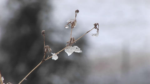 A montage of a small tree with its few remaining leaves encased in ice Footage