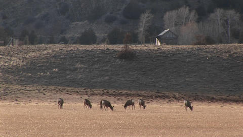A herd of deer graze in a meadow near a cabin Stock Video Footage