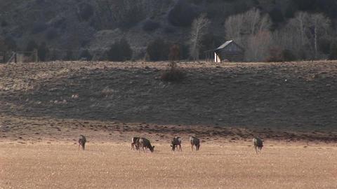 A herd of deer graze in a meadow near a cabin Footage