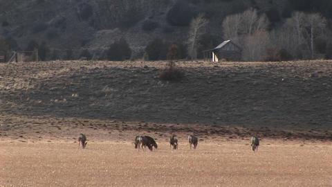 A herd of deer graze in a meadow near a cabin Stock Video Footage