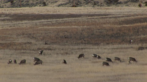A montage of grazing deer and a covered wagon Stock Video Footage