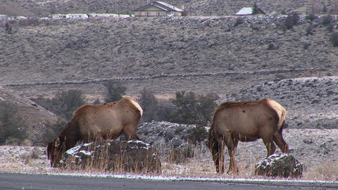 female elk graze close to the camera in a wintry hillside Footage