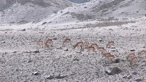 A herd of pronghorn antelope move across a winter field Stock Video Footage