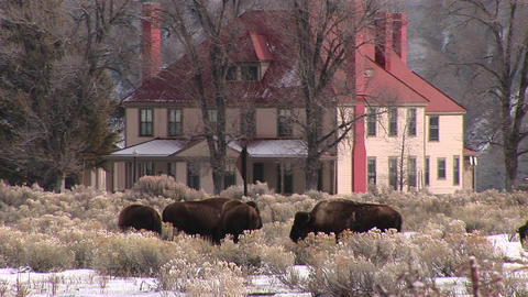 Bison are grazing on the winter prairie in front of an impressive homestead Footage