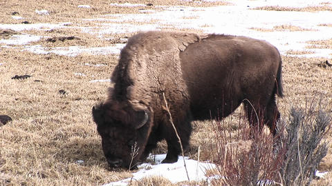 A grazing bison with its shaggy molting coat pokes... Stock Video Footage