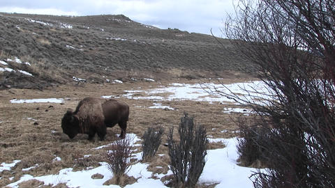 A lone bison searches for food in early spring Stock Video Footage
